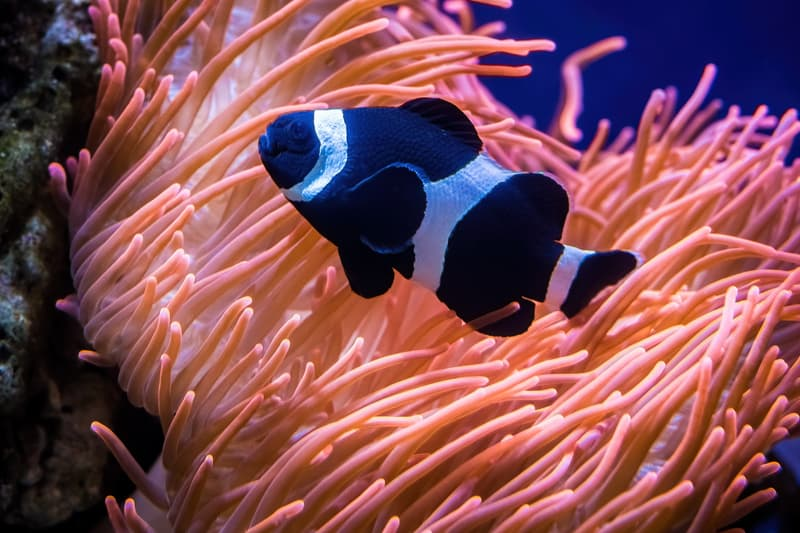 black and white clownfish