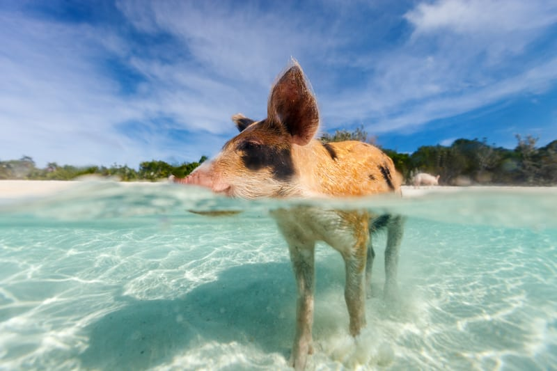 snorkeling with pigs bahamas